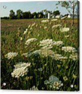 Days Of Queen Annes Lace Acrylic Print