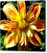 Dazzling Dahlia Photograph Acrylic Print