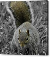 Dc Squirrel Acrylic Print