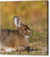 Ddp Djd Snowshoe Hare 98 Acrylic Print