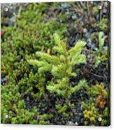 Ddp Djd Spruce Seedling 16 Acrylic Print