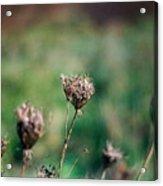 Dead Flower Acrylic Print