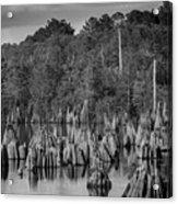 Dead Lakes Cypress Stumps Bw  Acrylic Print