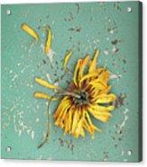 Dead Suflower Acrylic Print