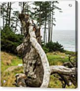 Dead Tree At Ecola Park Acrylic Print