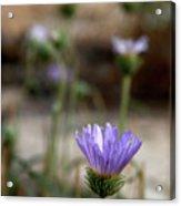 Death Valley Lavenders Acrylic Print