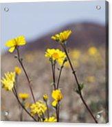 Death Valley Super Bloom 2016 Acrylic Print