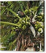 Debbie's Coconuts Acrylic Print