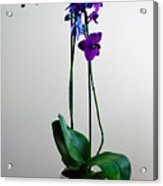 Decorative Orchid Photo A6517 Acrylic Print
