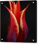 Decorative Tulip Acrylic Print