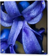 Deep Blue Flower Acrylic Print
