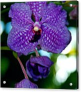 Deep Blue Orchid Acrylic Print