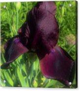Deep Burgundy Iris Acrylic Print
