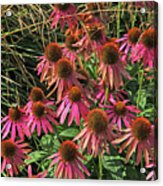 Deep Pink Echinacea Straw Flowers Green Leaf And Grass Background 2 9132017 Acrylic Print