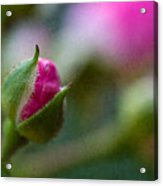 Deep Pink Rose Bud - Rose Bud Acrylic Print