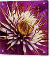 Deep Purple Clematis Acrylic Print