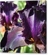 Deep Purple Irises Dark Purple Irises Summer Garden Art Prints Acrylic Print