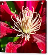 Deep Red Clematis Acrylic Print