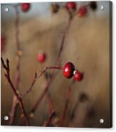 Deep Red Rose Hips On Brown And Blue Acrylic Print