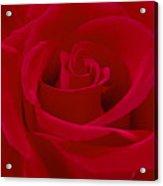 Deep Red Rose Acrylic Print