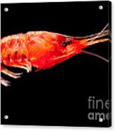 Deep Sea Shrimp Acrylic Print