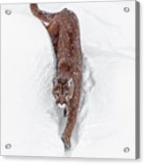 Deep Snow Cougar Acrylic Print