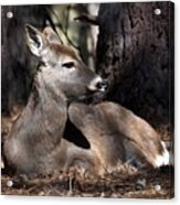 Deer 336 Acrylic Print