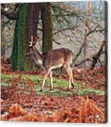 Deer Among The Ferns Acrylic Print