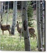 Deer And Aspen Acrylic Print