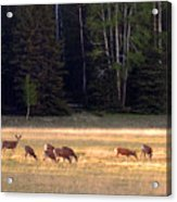 Deer At Kaibab Meadows Acrylic Print