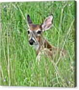 Deer Bedded Down During Mid Day Acrylic Print