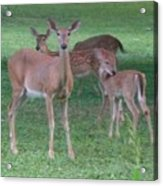 Deer Family Out For Evening Stroll Acrylic Print