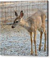 Deer Fawn - 2 Acrylic Print