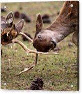 Deer Games Acrylic Print