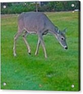 Deer Grazing In City Field Acrylic Print