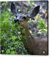 Deer Having Lunch Acrylic Print