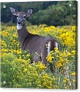 Deer In A Field Of Yellow Flowers Acrylic Print