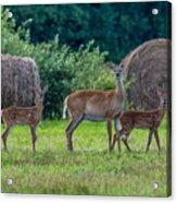 Deer In A Hay Field Acrylic Print
