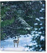 Deer In A Snowy Glade Acrylic Print