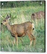 Deer In Boulder Colorado Acrylic Print