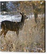Deer in Morning light Acrylic Print