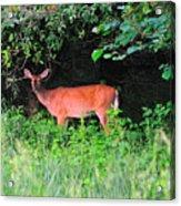 Deer In Overhang Of Trees Acrylic Print