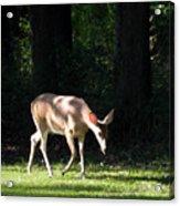 Deer In Shadows Acrylic Print