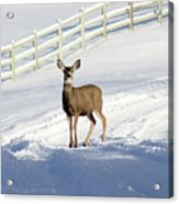 Deer In Snow Covered Road Acrylic Print