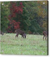 Deer In The Fall Acrylic Print