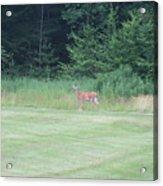 Deer In The Midst Acrylic Print
