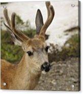 Deer Iv Acrylic Print