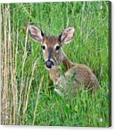 Deer Laying In Grass Acrylic Print