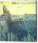 Deer Lying Down Acrylic Print