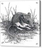 Deer Mouse Acrylic Print